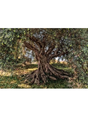 Wallpaper - Olive Tree - Size: 368 X 254 cm