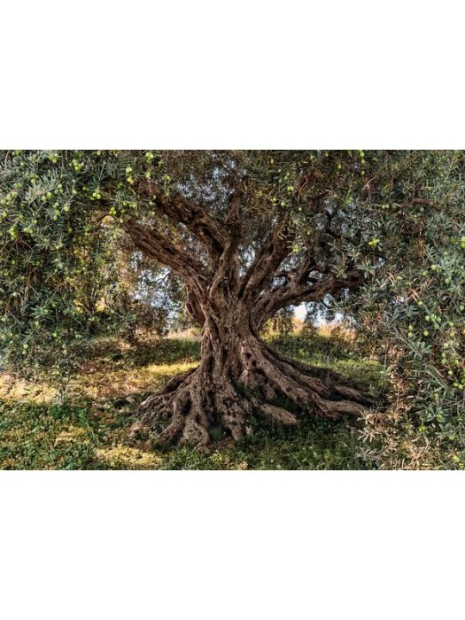 Wallpaper - Olive Tree - Size: 368 X 254 cm