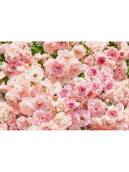 Wallpaper - Rosa - Size: 368 X 254 cm